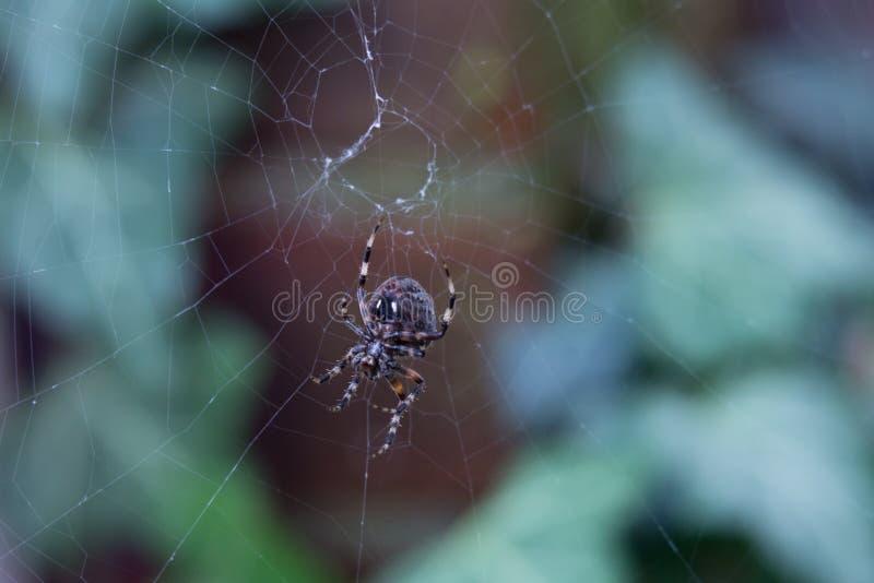 Chiuda su di un ragno nero che tesse un web davanti ad un fondo verde fotografie stock libere da diritti