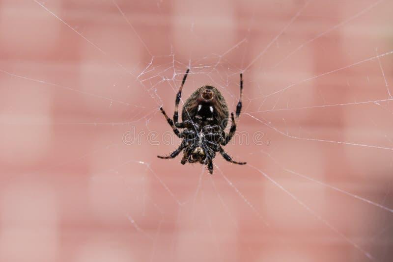 Chiuda su di un ragno nero in un web davanti ad un muro di mattoni immagini stock libere da diritti