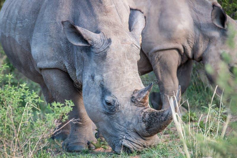 Chiuda su di un rinoceronte bianco nell'erba immagine stock