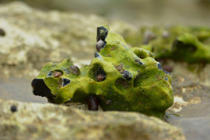 Chiuda su di un searock di coquina con differenti conchiglie coperte in alghe sulla spiaggia fotografia stock libera da diritti