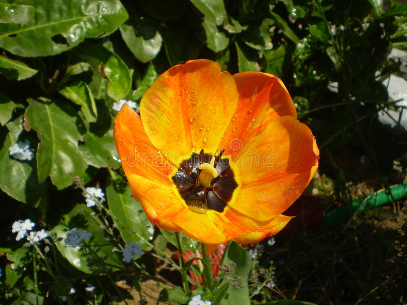 Chiuda su di un tulipano fotografia stock
