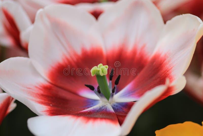 Chiuda su di un tulipano rosso orlato bianco immagini stock libere da diritti