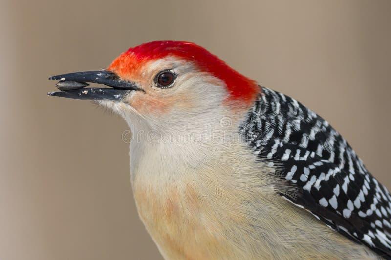 Chiuda su di un uccello Rosso-gonfiato del picchio con un seme di girasole nella sua bocca immagine stock