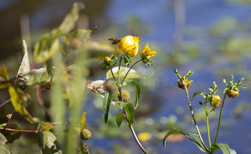 Chiuda su di una farfalla crescente su un fiore giallo immagine stock