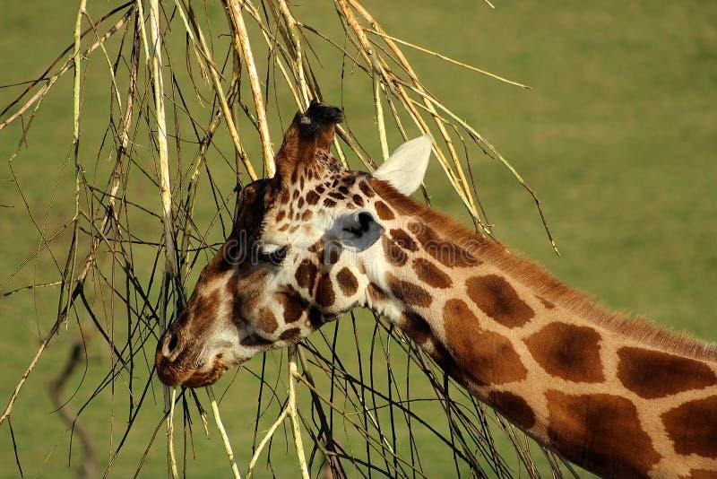 Chiuda su di una giraffa fotografia stock libera da diritti