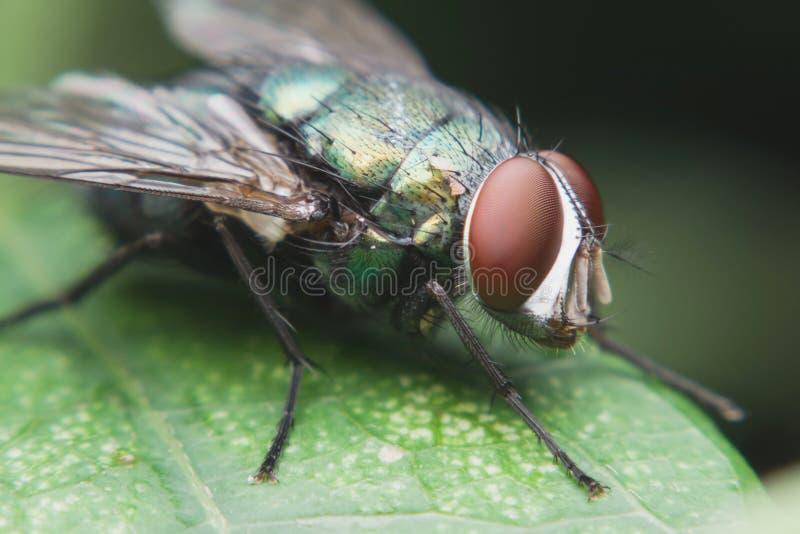 Chiuda su di una mosca verde su una foglia verde, mosca è trasportatore di diarrea immagini stock libere da diritti