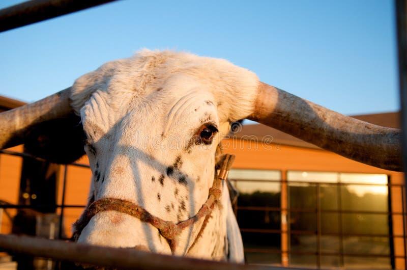 Chiuda in su di una mucca texana fotografie stock