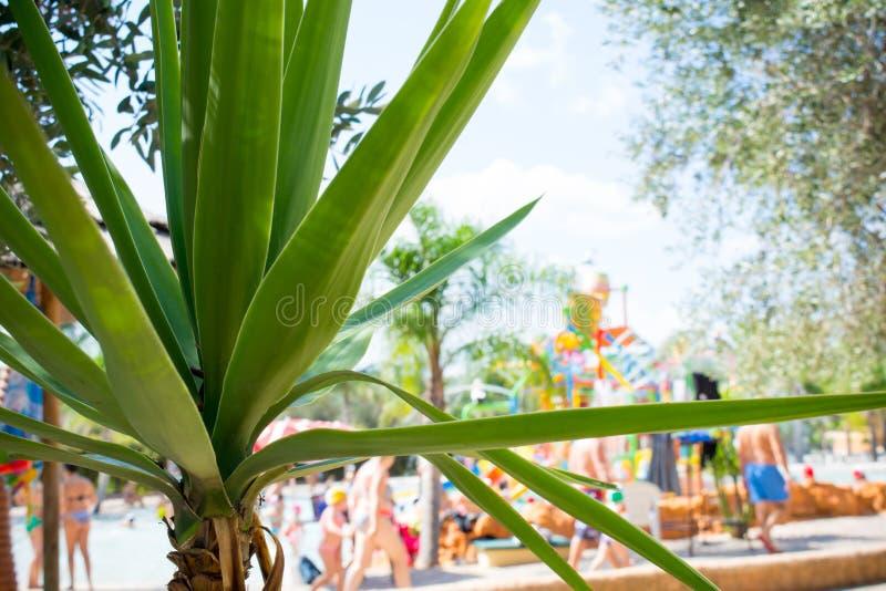 Chiuda su di una palma verde al parco dell'acqua fotografia stock