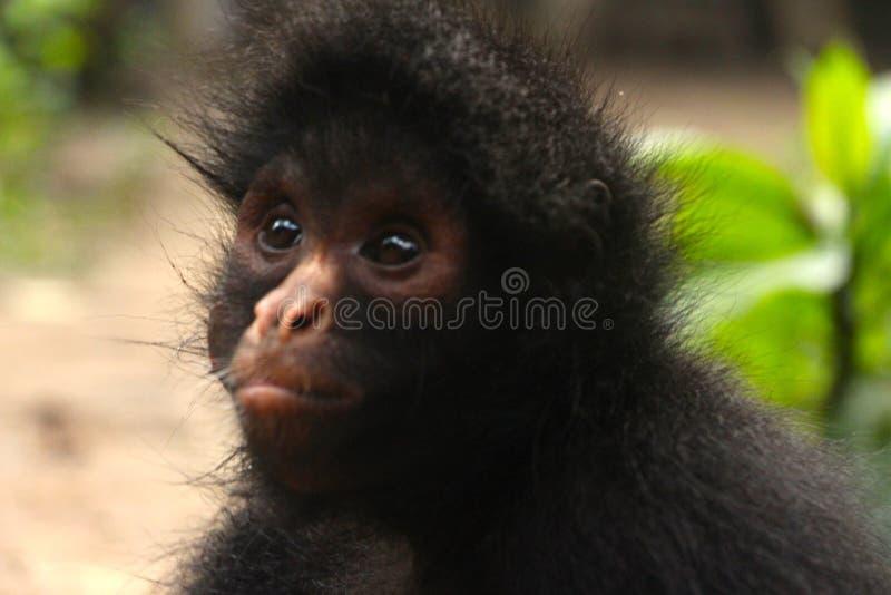 chiuda su di una scimmia di ragno nera fotografia stock libera da diritti