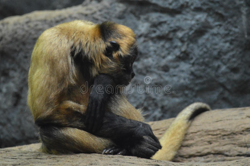 Chiuda su di una scimmia di ragno immagini stock libere da diritti
