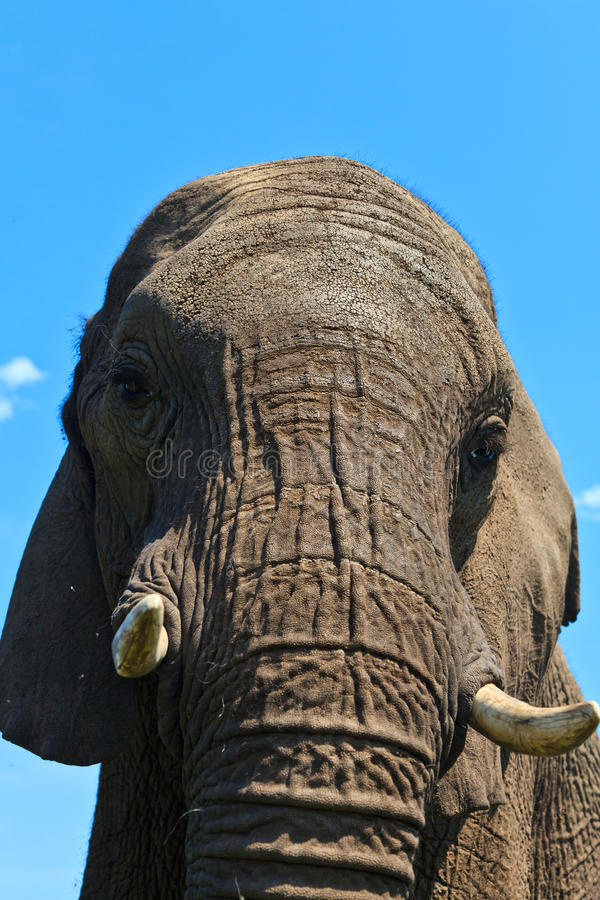 Chiuda in su di una testa degli elefanti fotografia stock