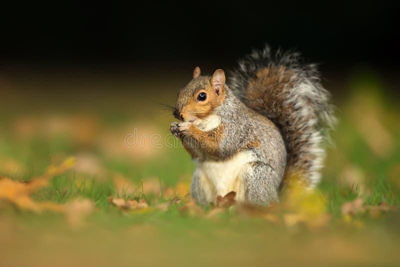 Chiuda su di uno scoiattolo grigio sveglio che mangia le nocciole fotografie stock libere da diritti