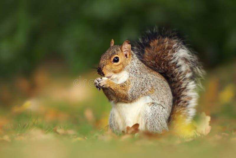 Chiuda su di uno scoiattolo grigio sveglio che mangia le nocciole fotografia stock