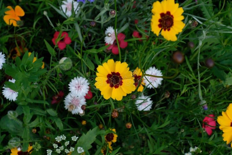 Chiuda su di vari fiori selvaggi compreso i tageti, intrapreso un giorno soleggiato nella metà dell'estate in Eastcote, il Regno  fotografia stock libera da diritti