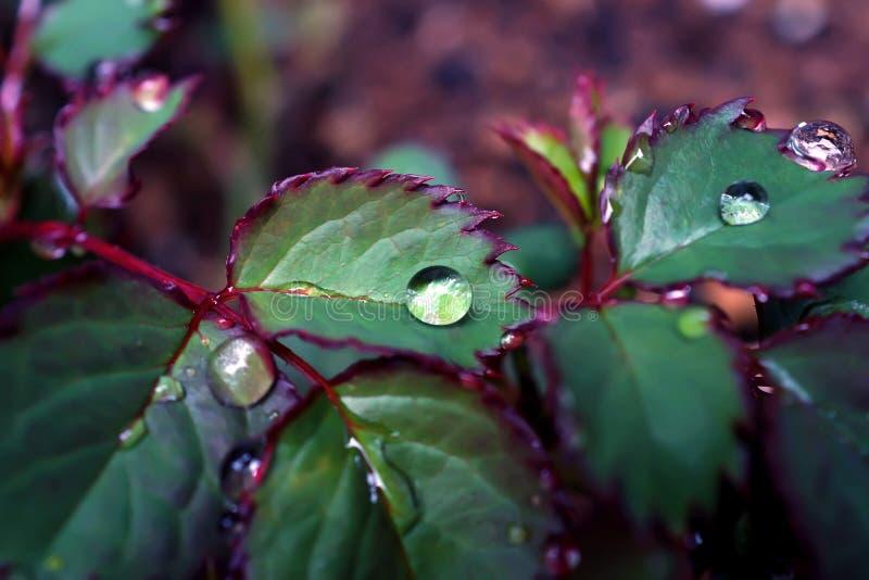 Chiuda su goccia di pioggia in permesso delle rose un giorno piovoso fotografia stock libera da diritti
