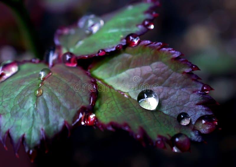 Chiuda su goccia di pioggia in permesso delle rose un giorno piovoso fotografia stock