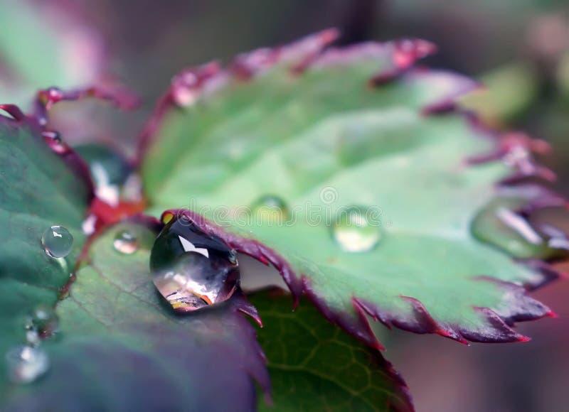 Chiuda su goccia di pioggia in permesso delle rose un giorno piovoso immagine stock libera da diritti