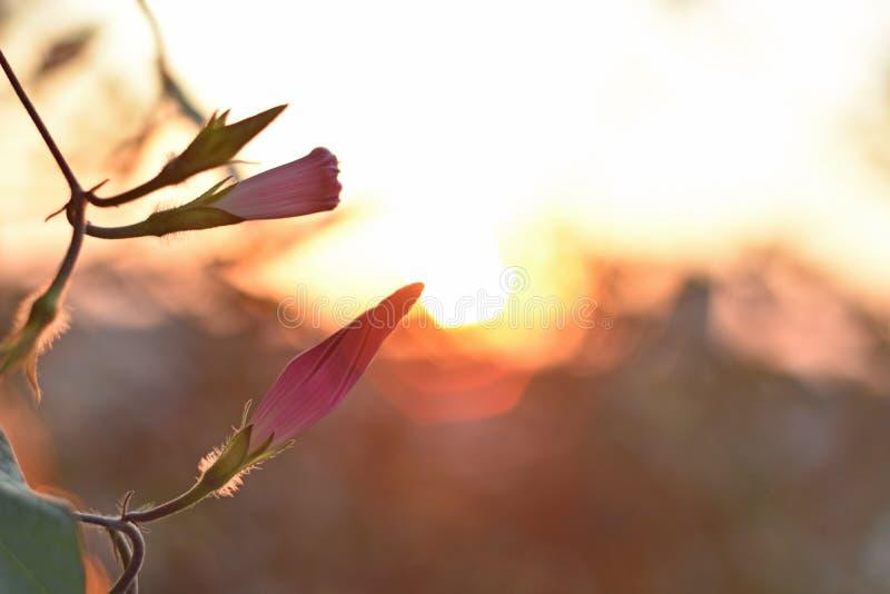 Chiuda su ipomea di fioritura e sul tramonto di caduta fotografia stock