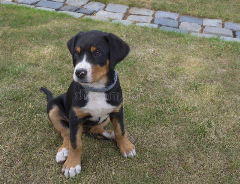 Chiuda su maggior seduta svizzera sveglia del ritratto del cucciolo del cane della montagna immagine stock