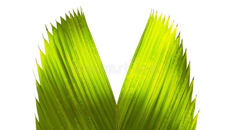 Chiuda su nell'ambito di lasciare verde della palma nello spazio della copia e del giardino fotografie stock