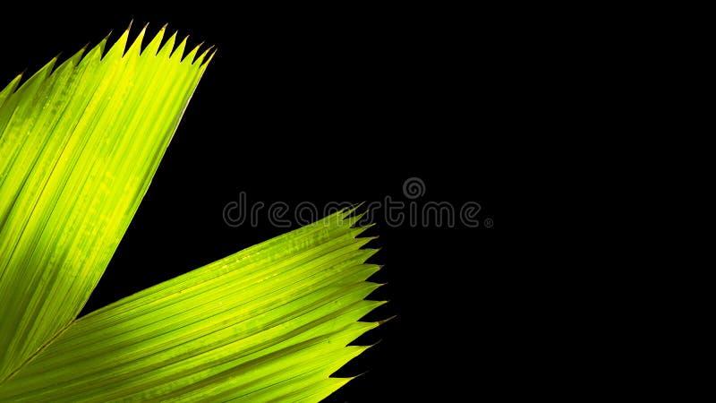 Chiuda su nell'ambito di lasciare verde della palma nello spazio della copia e del giardino fotografia stock libera da diritti