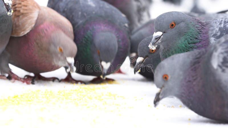 Chiuda su per i piccioni che mangiano i piccoli grani gialli su fondo bianco media Stormo degli uccelli che beccano miglio veloce fotografia stock