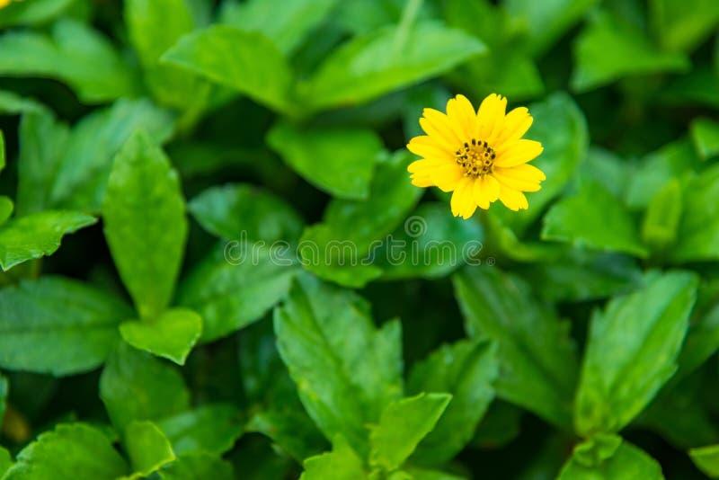 Chiuda su poca margherita gialla del fiore della stella con il fondo verde del giardino fotografie stock libere da diritti