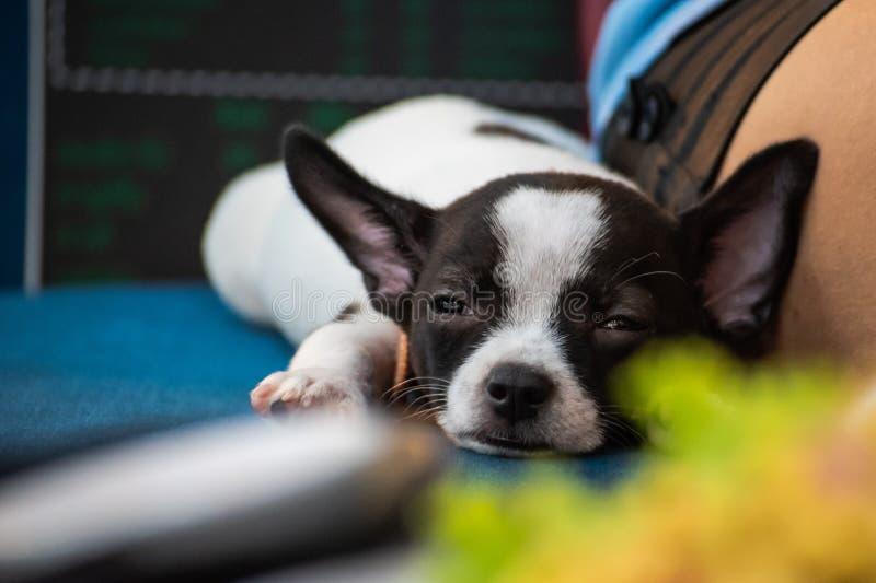 Chiuda su poco cane, ritratto della chihuahua, indichi accanto al suoi proprietario, cutes di sguardo ed adorabile fotografia stock libera da diritti