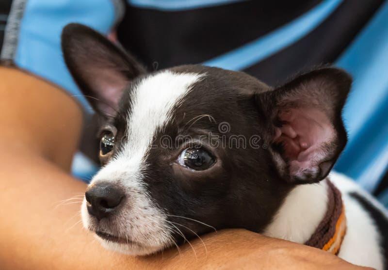 Chiuda su poco cane, ritratto della chihuahua, indichi accanto al suoi proprietario, cutes di sguardo ed adorabile fotografia stock