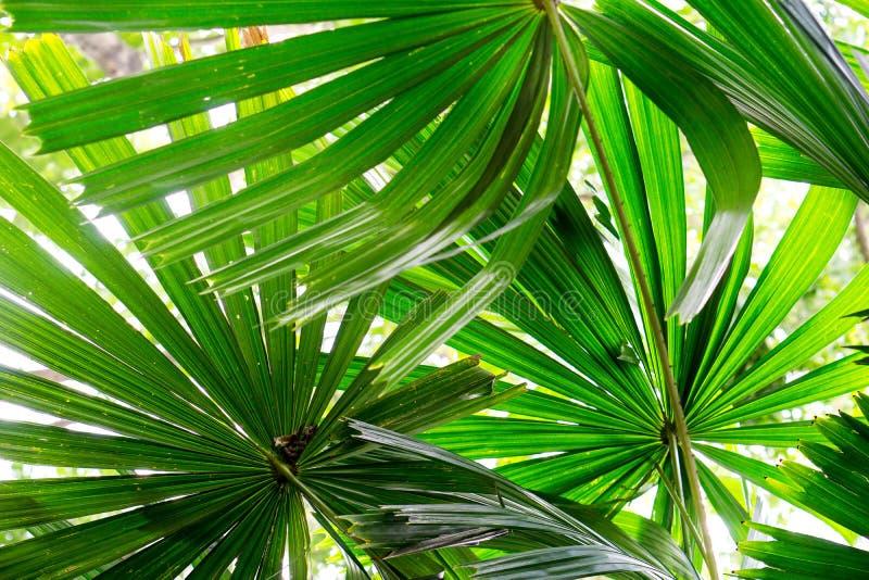 Chiuda su sotto le foglie di palma verdi di signora in natura del giardino con lo spazio della copia e di luce solare, uso per il fotografie stock