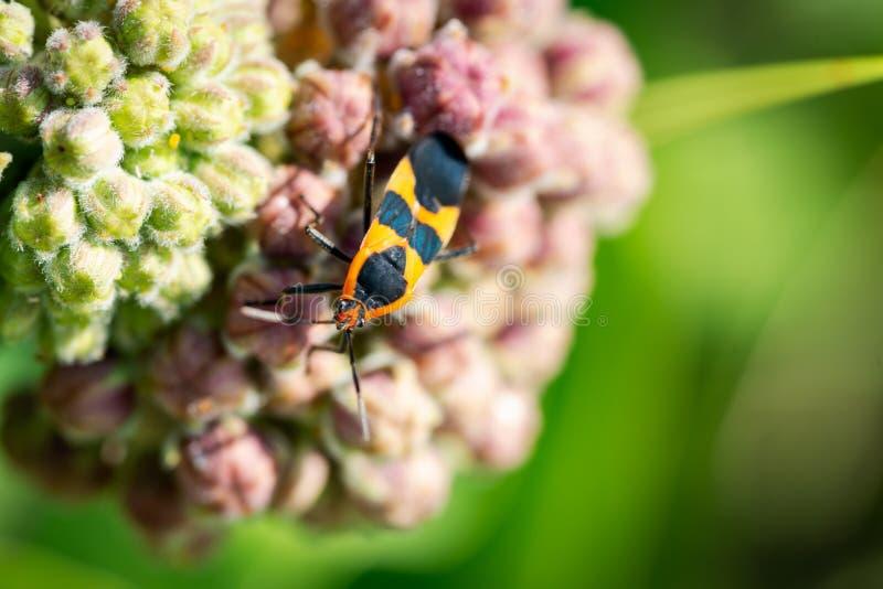Chiuda su specie di oncopeltus fasciatus di grandi di un insetto del Milkweed sulle specie comuni di fioritura del Milkweed della fotografie stock libere da diritti