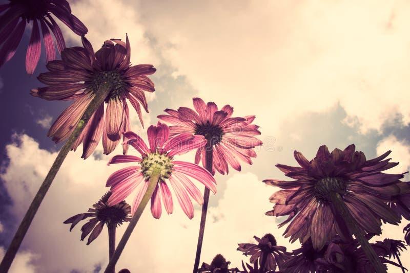 Chiuda su stile dell'annata del fiore di zinnia di rumore metallico fotografia stock libera da diritti