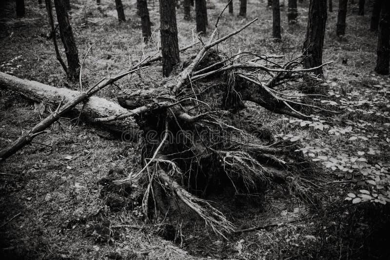 Chiuda su sull'albero rotto nella foresta, in bianco e nero fotografia stock libera da diritti