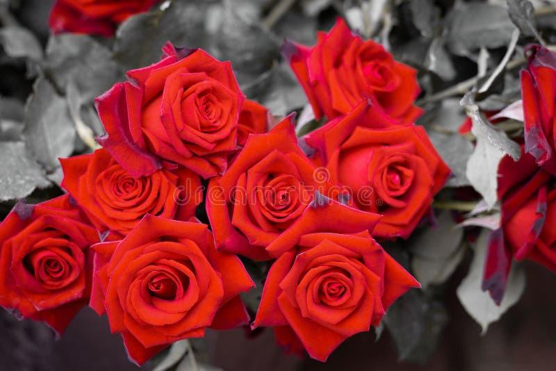 Chiuda su sulle rose rosse fotografie stock