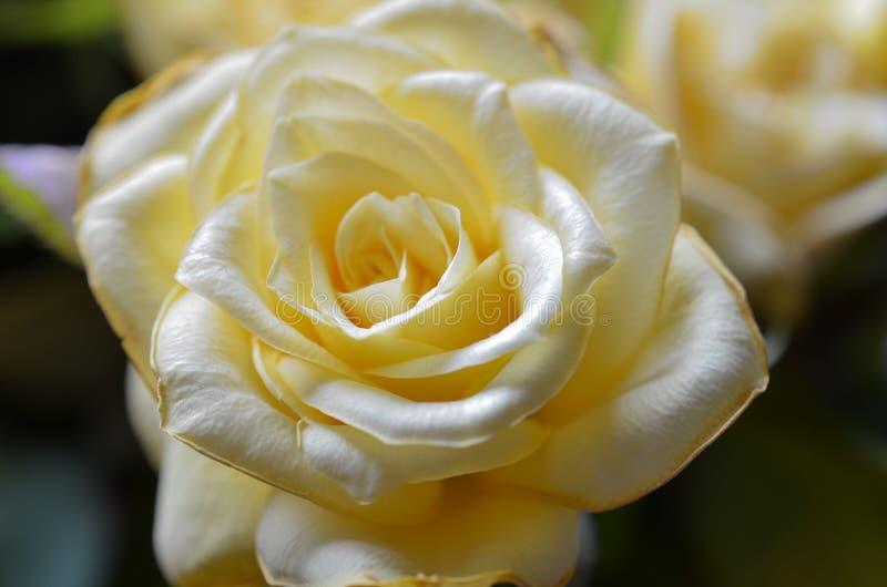 Chiuda su un fiore giallo della rosa con profondità di campo bassa immagine stock libera da diritti