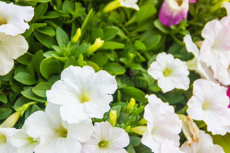Chiuda sui bei fiori bianchi della petunia con il fondo delle foglie verdi e copi lo spazio per testo Le petunie sono una del nos fotografia stock libera da diritti
