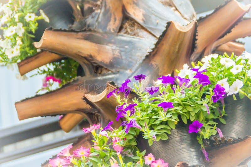 Chiuda sui bei fiori rosa bianchi porpora della petunia con il fondo delle foglie verdi e copi lo spazio per testo Le petunie son fotografia stock libera da diritti