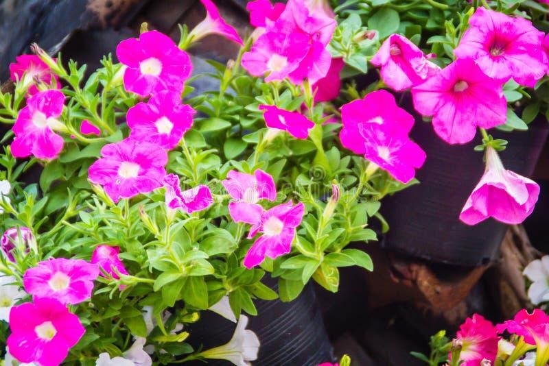 Chiuda sui bei fiori rosa della petunia con il fondo delle foglie verdi e copi lo spazio per testo Le petunie sono una dei nostre fotografia stock