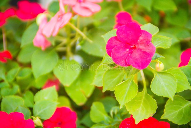 Chiuda sui bei fiori rosa della petunia con il fondo delle foglie verdi e copi lo spazio per testo Le petunie sono una dei nostre fotografie stock libere da diritti