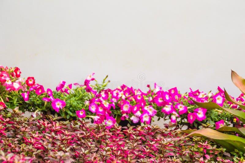 Chiuda sui bei fiori rosa della petunia con le foglie verdi sui precedenti bianchi della parete e copi lo spazio per testo Le pet immagini stock