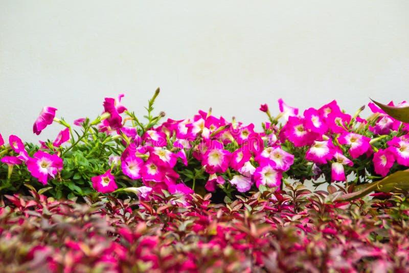 Chiuda sui bei fiori rosa della petunia con le foglie verdi sui precedenti bianchi della parete e copi lo spazio per testo Le pet fotografie stock libere da diritti