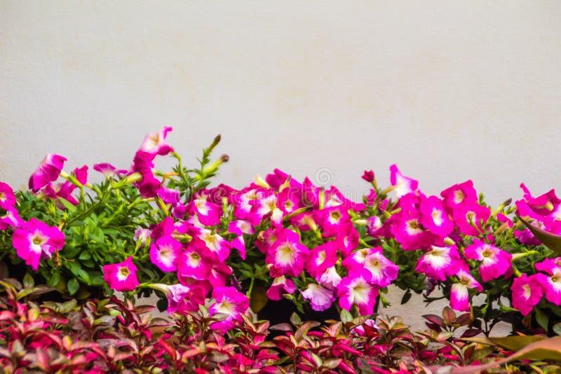Chiuda sui bei fiori rosa della petunia con le foglie verdi sui precedenti bianchi della parete e copi lo spazio per testo Le pet fotografie stock