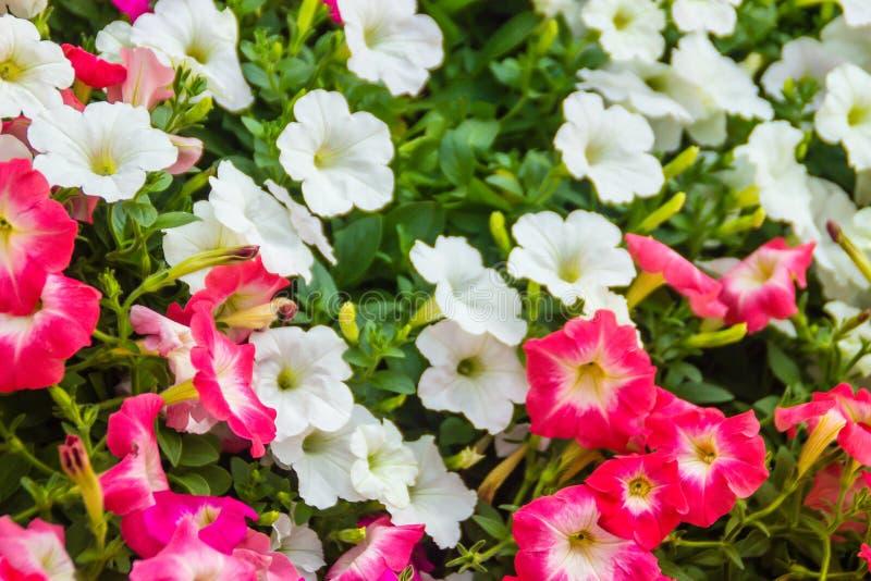 Chiuda sui bei fiori rosa e bianchi della petunia con il fondo delle foglie verdi e copi lo spazio per testo Le petunie sono una  fotografie stock libere da diritti