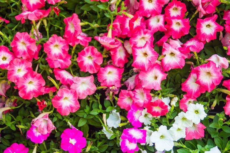 Chiuda sui bei fiori rosa e bianchi della petunia con il fondo delle foglie verdi e copi lo spazio per testo Le petunie sono una  immagini stock