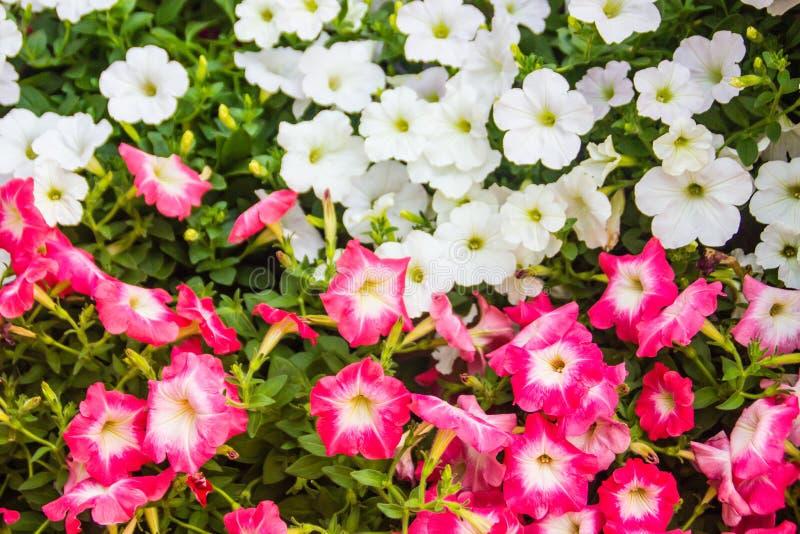 Chiuda sui bei fiori rosa e bianchi della petunia con il fondo delle foglie verdi e copi lo spazio per testo Le petunie sono una  fotografie stock