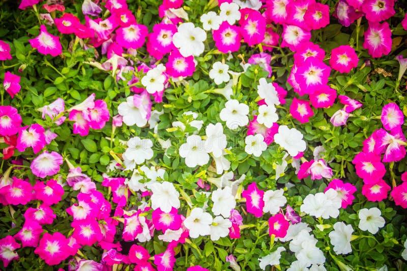 Chiuda sui bei fiori rosa e bianchi della petunia con il fondo delle foglie verdi e copi lo spazio per testo Le petunie sono una  immagini stock libere da diritti