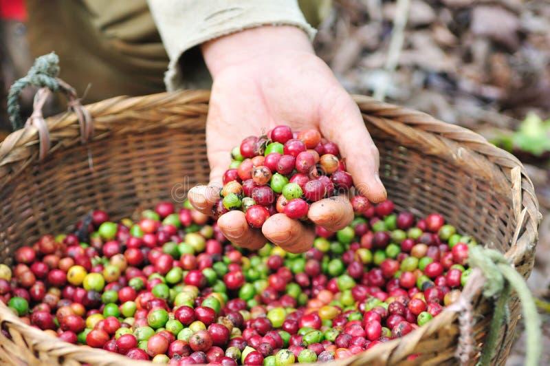 Chiuda sui chicchi di caffè rossi delle bacche sulla mano dell'agricoltore. fotografia stock
