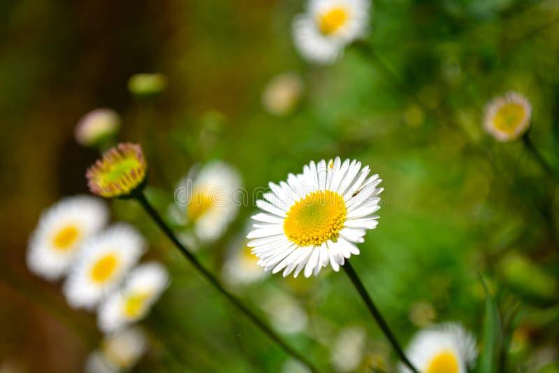 Chiuda sui fiori della margherita bianca fotografia stock libera da diritti