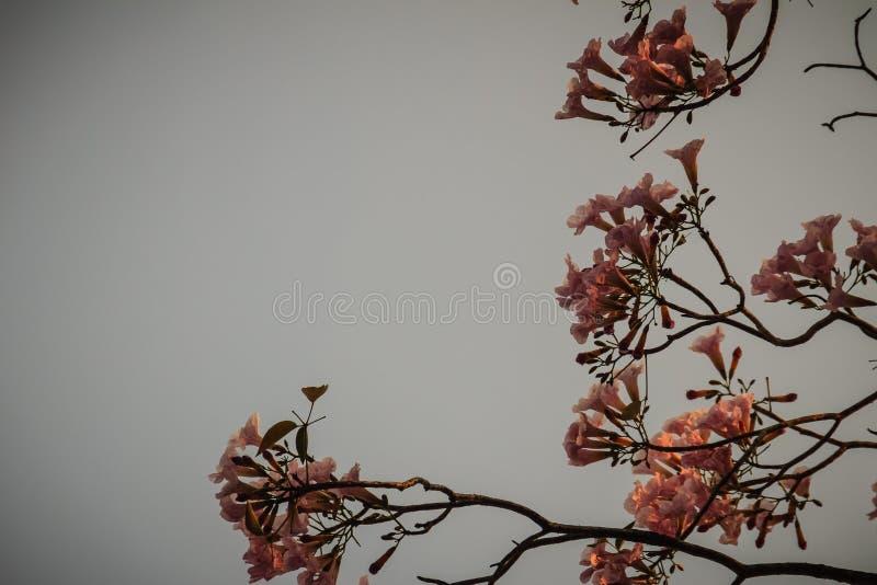 Chiuda sui fiori rosa della tromba (rosea di Tabebuia) sull'albero con crusca fotografie stock