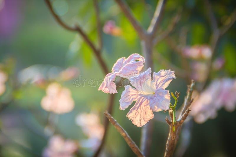 Chiuda sui fiori rosa della tromba (rosea di Tabebuia) sull'albero con crusca fotografia stock libera da diritti